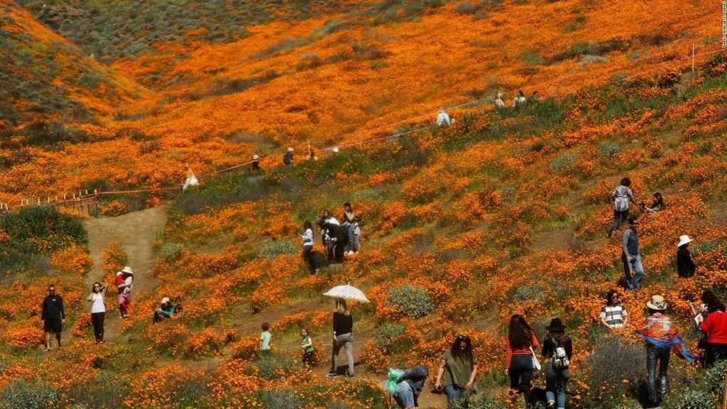 Superflorecimiento en California amenazado por turismo