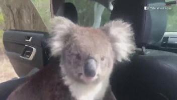 Un koala polizón se cuela en un auto