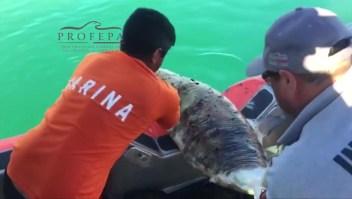 Buscan proteger a las vaquitas marinas en México