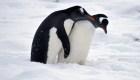 Antártida: Baja el nacimiento de pingüinos