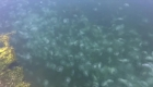 Miles de medusas invaden un puerto en California