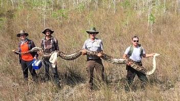 Atraparon un pitón de 5,18 metros