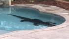 Caimán gigante quería fiesta en una piscina familiar