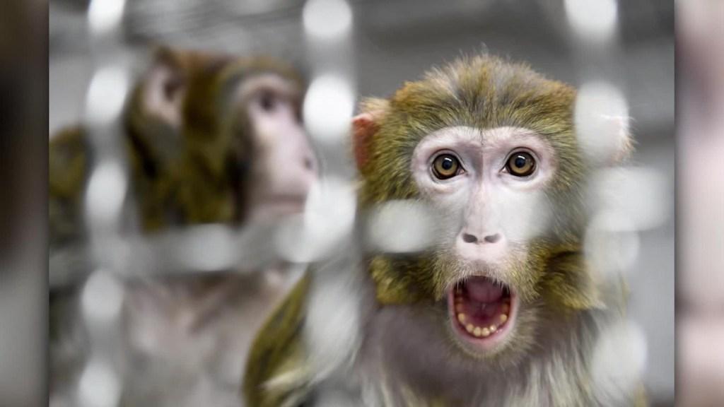 Implantan genes humanos en cerebro de monos