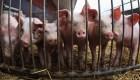 Científicos activan cerebro de cerdos muertos