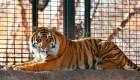 Tigre de Sumatra atacó a empleada de zoológico