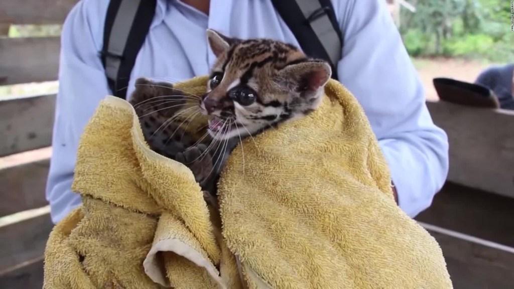 Rescatan a tigrillo en Ecuador