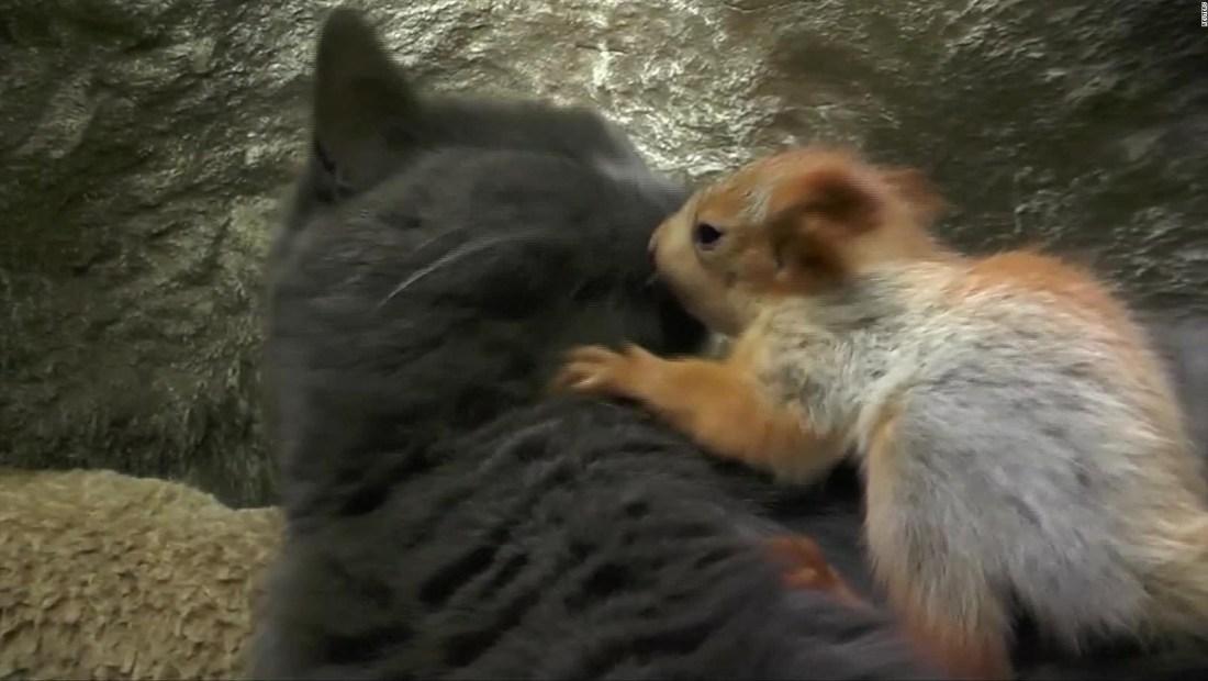 Una gata adopta 4 ardillas bebé huérfanas
