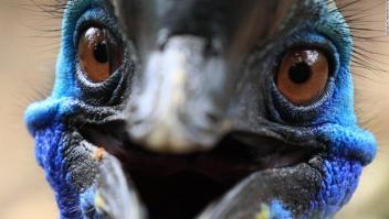 casuario-ave-asesina-pico