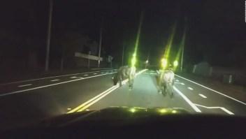 Escolta policial al servicio de un par de vacas