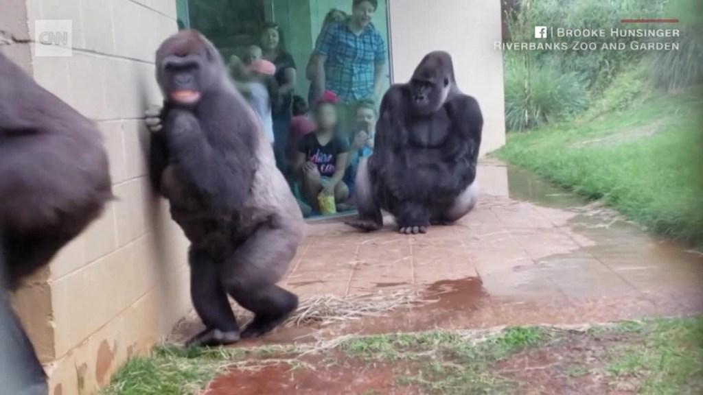 Gorilas escapan de la lluvia en un zoológico