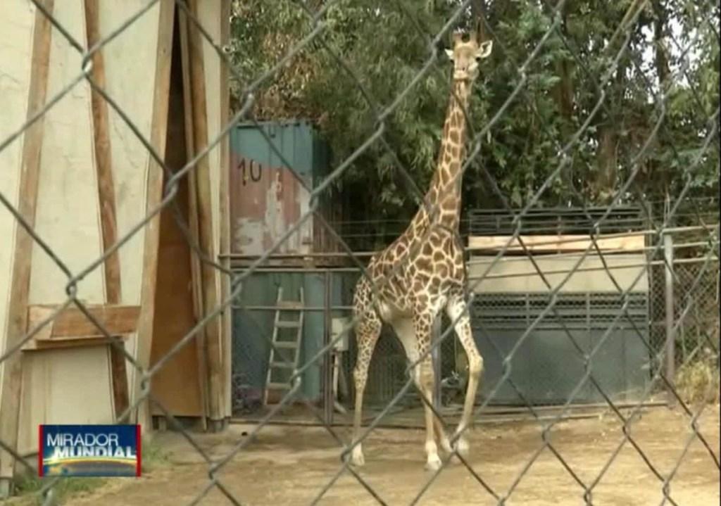 El zoológico de Chile cuenta con un nuevo inquilino