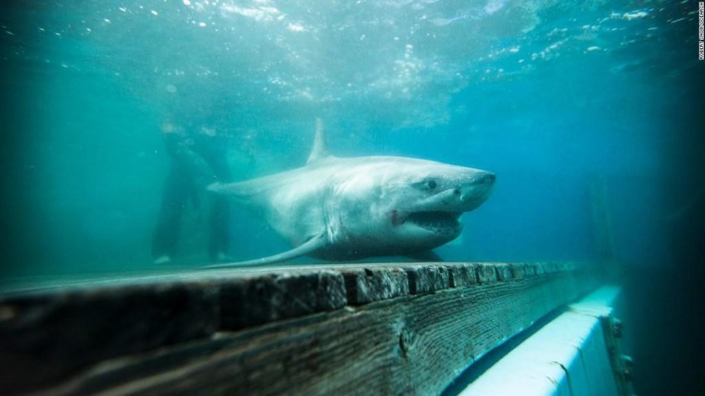 Tiburón blanco Long Island Sound