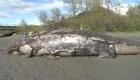 Investigan la muerte de varias ballenas en Alaska