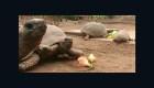 Celebran el Día de la Tortuga en Perú