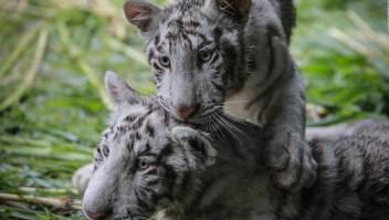 Estos dos tigres blancos tienen un nuevo hogar