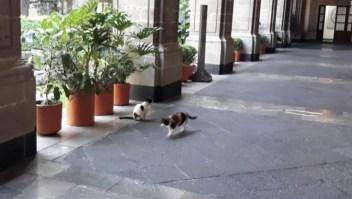 Disputa por gatos en el Palacio Nacional de México