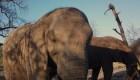 Botswana elimina prohibición de caza de elefantes