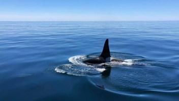 Raro video de una orca con un grupo de delfines