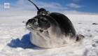 Focas con antenas ayudan a resolver misterio en la Antártida