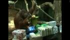Orangutana Nenette