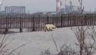 Oso polar vaga a cientos de kilómetros de su hogar