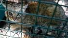 Encuentran un raro tipo de gato en Francia