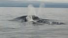 """Escucha la """"canción"""" de una rara ballena"""