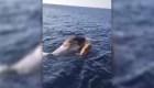 Un cachalote murió tratando de rescatar a su cría atrapada
