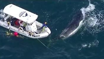 Dramático rescate de una ballena en altamar