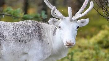 200 renos murieron por cambio climático