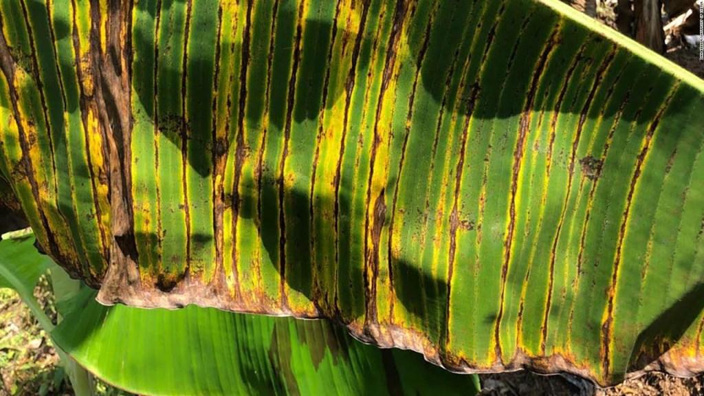 Alarma en Ecuador ante sospecha de hongo en cultivos de Colombia