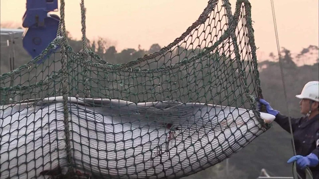 Así se cazan las ballenas en Japón