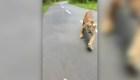 Encuentro con un tigre en una carretera de India