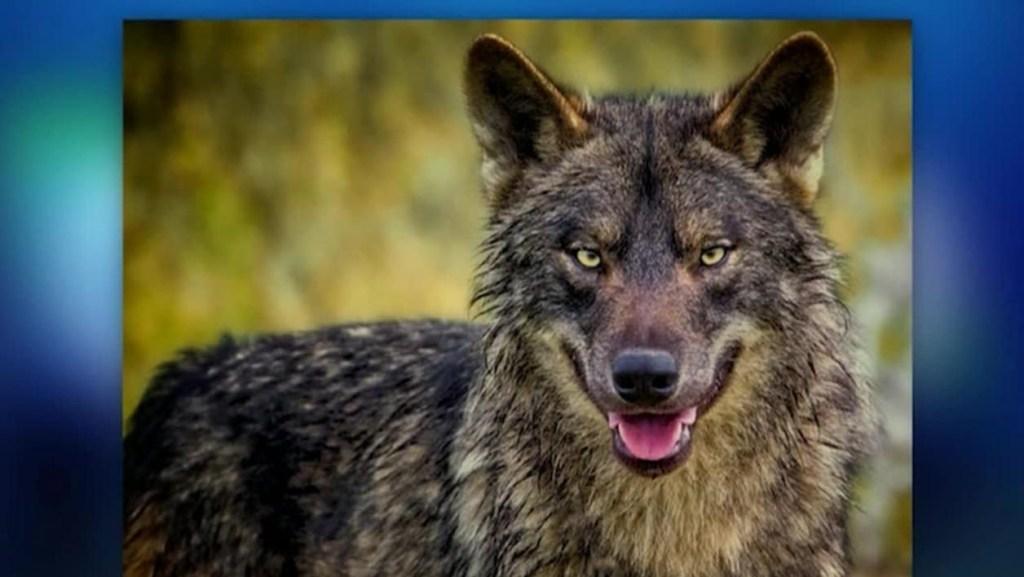 Cara a cara con una manda de lobos ibéricos