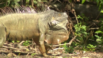 Las iguanas causan estragos en la Florida