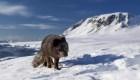 #ElDatoDeHoy: zorra ártica viaja de Noruega a Canadá