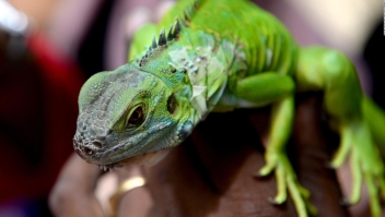 Florida busca terminar con la invasión de iguanas verdes