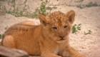 Presentan a 2 traviesos cachorros de león de Berbería