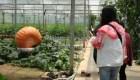 Crean calabazas gigantes en el suroeste de China
