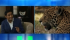 La lucha por proteger al jaguar en Panamá de la extinción sin afectar el ganado de los campesinos