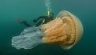 Graban una rara medusa gigante, del tamaño de un humano