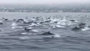 Captan en video una manada de delfines en California