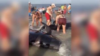 Bañistas salvan ballenas varadas en la costa