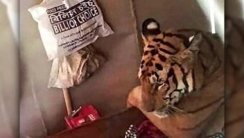Familia encuentra a un tigre descansando en su casa en la India