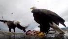 Un águila robó una GoPro y grabó este impresionante video