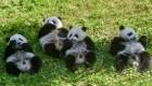Esta reserva china festejó el cumpleaños de 18 pandas