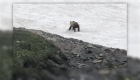 Captan a oso que intentaba cruzar un campo de nieve
