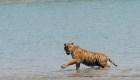 Aumenta la población de tigres en la India
