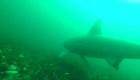 """""""SharkCam"""" nos acerca a los tiburones peregrinos"""